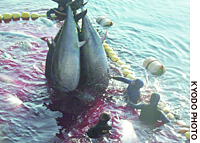 Farmed tuna are hauled from a saltwater pool in the Mediterranean in this photo provided by the Brest Centre of the French Research Institute for Exploitation of the Sea.