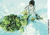 Farmer Yuko Arao digs up cabbages in Wassamu, Hokkaido, in December.