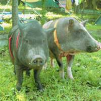 Pet minipigs grow in popularity, girth