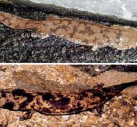 Chinese giant salamanders like the one shown at top have been found in Japan on several occasions, raising fears they may threaten the endangered native species seen below. | PHOTOS COURTESY OF MASAFUMI MATSUI / KYODO