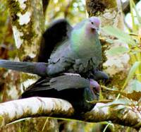 Japanese wood pigeons mate on a tree branch on the island of Chichi in the Ogasawara Islands, about 1,000 km south of Tokyo. | PHOTO COURTESY OF THE INSTITUTE OF BONINOLOGY/KYODO