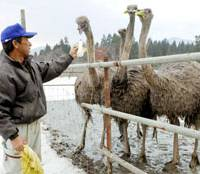Slumping builders turn to ostrich farming