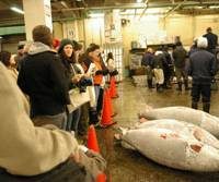 Tourists watch a tuna auction in the early morning of Jan. 26 at the Tsukiji Fish Market in Chuo Ward, Tokyo. | REIJI YOSHIDA PHOTO