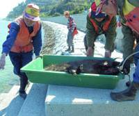 Take the plunge: Aishin hunting club members in Ehime Prefecture carry a wild boar carcass to a breakwater in Imabari to plunge it into the sea to drain the blood and cool it. | KYODO PHOTO