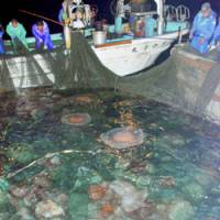 Unintended haul: Dozens of Nomura's jellyfish are caught in a fishing net off Fukui Prefecture in October 2007. | KYODO PHOTO