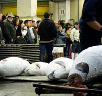 Tourists back in season: Early morning tuna auctions at Tokyo's Tsukiji fish market reopen to visitors Monday after a monthlong ban. | MARIKO KATO PHOTO