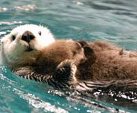 Contentment: Female sea otter Marin clutches her newborn baby during a recent swim at Marine World-Uminonakamichi Aquarium in Fukuoka. | KYODO PHOTO