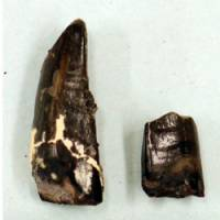 Making an impression: The fossilized teeth of a dinosaur believed to have been an early predecessor of the tyrannosaurus have been found in Tamba, Hyogo Prefecture. | MUSEUM OF NATURE AND HUMAN ACTIVITIES, HYOGO/KYODO PHOTO