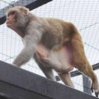 No more snacks: One of a troupe of overweight rhesus monkeys at Ohama Park in Sakai, Osaka Prefecture, walks inside its cage Tuesday after a tight diet helped trim their fat. | KYODO PHOTO