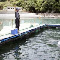 Details on how Japan's dolphin catches work