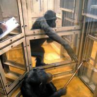 Selfless act: One chimpanzee offers another a tool that is needed to reach a drink. | COURTESY OF PRIMATE RESEARCH INSTITUTE AT KYOTO UNIVERSITY