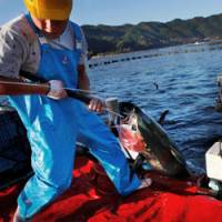 Tuna farming getting a boost as species suffers