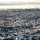 Dead anchovies cover stretch of Chiba beach