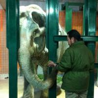 Nation's oldest Asian elephant set to turn 65