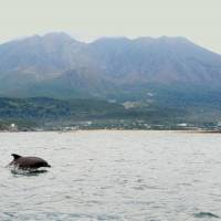 Ducking and diving: An Indo-Pacific bottlenose dolphin is seen in Kagoshima Bay last September, with Mount Sakurajima, an active volcano, in the background. | KAGOSHIMA CITY AQUARIUM / KYODO