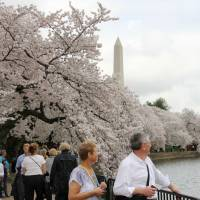 Symbol of friendship: Cherry trees are in full bloom along the Tidal Basin in the center of Washington, D.C., last March. | KYODO