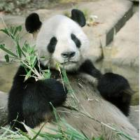 In the mood?: Giant panda Ri Ri holds bamboo Monday at Tokyo's Ueno Zoo. | UENO ZOO/KYODO