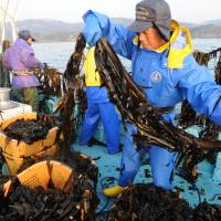 Taking control: Fishermen from Hamanto, a fishing company, harvest 'wakame' seaweed off Ishinomaki, Miyagi Prefecture, on Feb. 28. | SATOKO KAWASAKI