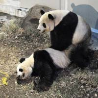 Birds and the bears: Ueno Zoo's giant pandas, female Shin Shin and male Ri Ri, both 7, are seen mating Monday evening. Officials at the Tokyo zoo confirmed the pair mated again Tuesday morning. | UENO ZOO/KYODO