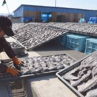 Fin finito?: A worker turns over drying shark fins Tuesday at a shark-fin processing plant in Kesennuma, Miyagi Prefecture. | AFP-JIJI