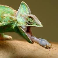 Chameleons born in Africa, rafted to Madagascar