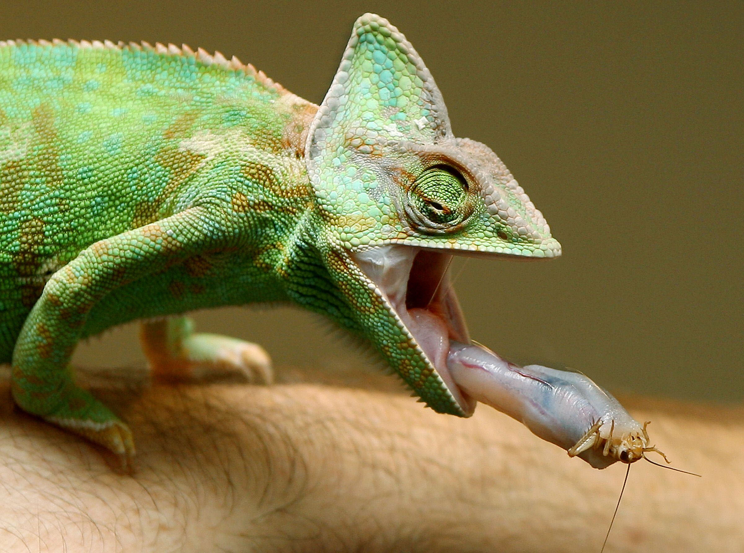chameleons born in africa rafted to madagascar the