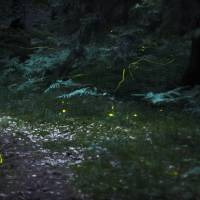 Casting a little light on fireflies