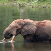 Key targets: Unfortunately for this forest elephant in the Republic of Congo, its tusks make top-class shamisen bachi (plectrums). | TOMOAKI NISHIHARA