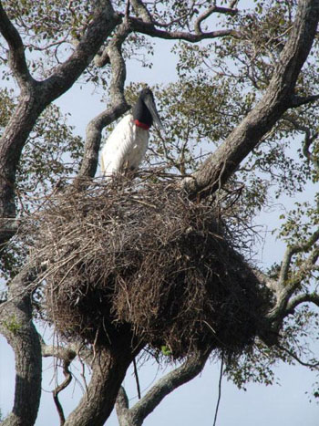 An enormous jabiru stork — the largest stork in the Americas — on its huge treetop nest.