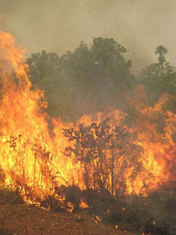 In the dry season, however, it is alarmingly susceptible to fires (left) that destroy vast swaths of woodland habitat.