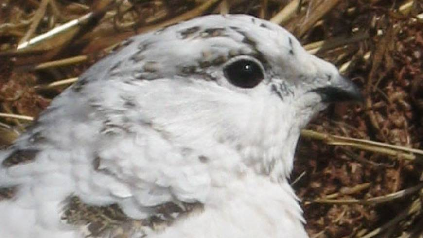 Formal dress: A Rock Ptarmigan in white winter plumage poses for a portrait.