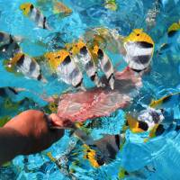 Local color: A guide feeds fish in the Aitutaki lagoon. | CHRISTOPHER JOHNSON