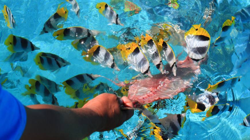 Local color: A guide feeds fish in the Aitutaki lagoon.