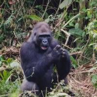 Nature watch: A gorilla sits in a Cameroonian rainforest. The father-daughter photography team of Michio and Masayo Hiraiwa will exhibit their photos of the country at Tokyo's Condor Gallery. | MICHIO AND MASAYO HIRAIWA
