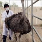 Masks with ostrich antibodies aid swine flu fight