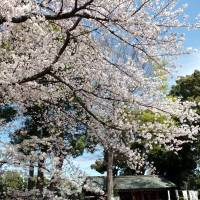 Cherished sight: Cherry blossoms bloom at Shinmeigu Shrine near JR Asagaya Station in Suginami Ward, Tokyo, March 26. | SATOKO KAWASAKI