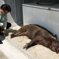 Boar rampage leaves eight hurt in Hyogo town
