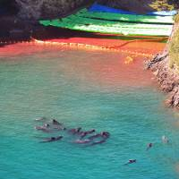 Cornered: A pod of what appear to be pilot whales swim in a sealed-off area just after the season's first dolphin cull in Taiji, Wakayama Prefecture, on Sept. 10, 2009. | ROB GILHOOLY