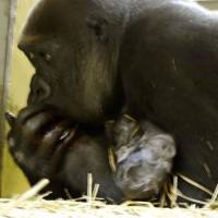 Stable: Western lowland gorilla Momoko holds the baby she gave birth to Wednesday at Tokyo's Ueno Zoo. Both the mother and baby are in a stable condition. | UENO ZOO/KYODO