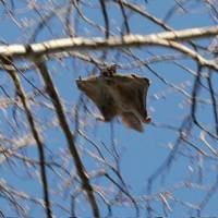 A flying squirrel | WIKIPEDIA