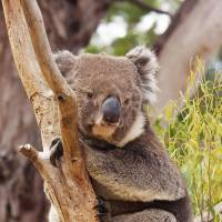 Gene-sequencing breakthrough may save koalas
