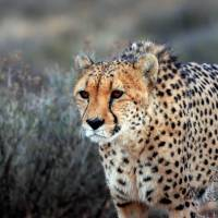 Dwindling numbers: A cheetah walks through brush at the private Inverdoom game reserve, located some 200 km northeast of Cape Town, in March. | AFP-JIJI