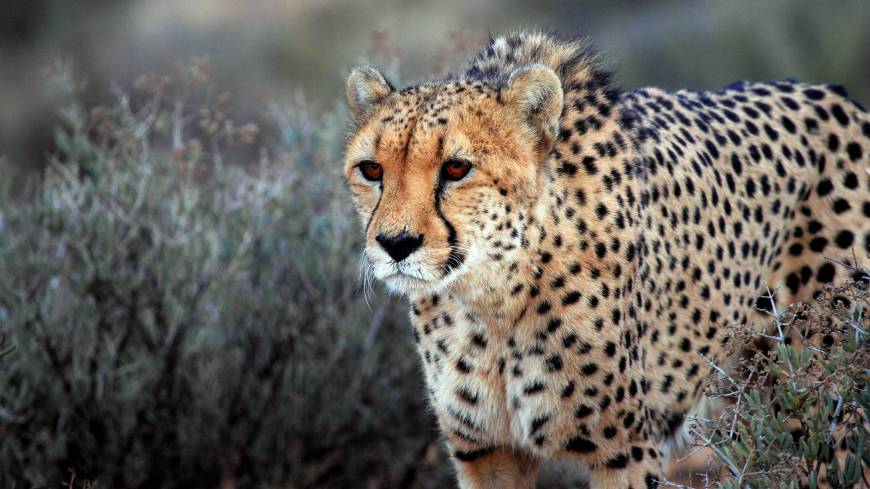 Dwindling numbers: A cheetah walks through brush at the private Inverdoom game reserve, located some 200 km northeast of Cape Town, in March.