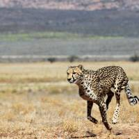 Faster, pussycat: A cheetah runs across the savanna at the Inverdoom game reserve. | AFP-JIJI