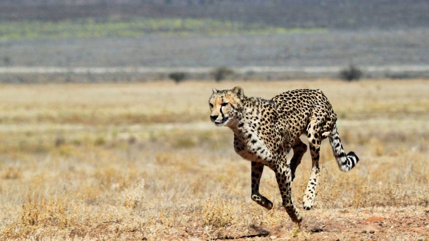 Faster, pussycat: A cheetah runs across the savanna at the Inverdoom game reserve.