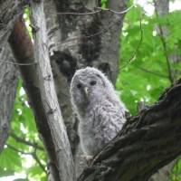 A downy, newly fledged Ural owl waits for its parents to bring food