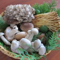 Fungal feast: A selection of traditional Japanese mushrooms. Clockwise from top: maitake, enoki, white shimeji, and shiitake in the center. Fresh mushrooms are often packaged with sawara tree leaves, which help to keep them fresh. The citrus fruits are kaposu, which match well with grilled mushrooms. | MAKIKO ITOH PHOTOS