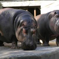 Happy couple: Satsuki (left) and her partner, Jiro, in Tokyo's Ueno Zoo in 2004. Satsuki died on April 16 after injuring herself due to the March 11 earthquake. | UENO ZOO