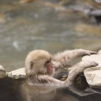 Hanging in there: A young macaque at Jigokudani takes its hot-spring ease.