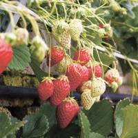 Sweet splendors: Akihime strawberries grow from a wall. | MANDY BARTOK PHOTOS